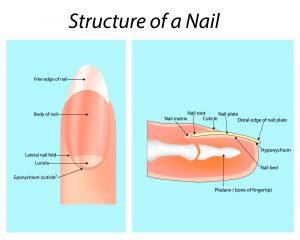 structuur van de nagel
